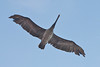 Brown Pelican: 2009 Oak Island, NC.  The Brown Pelican incubates its eggs by covering them with its webbed feet.  This unusual behavior made the species particularly vulnerable to the eggshell thinning effects of DDT.  After suffering a precipitous decline, the Brown Pelican is on the rebound.